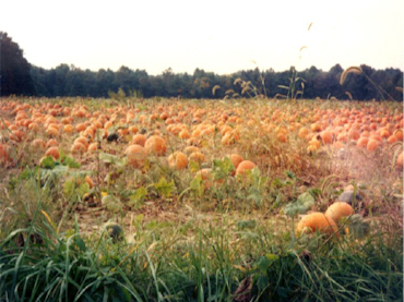 INDIANA PUMPKIN PATCH